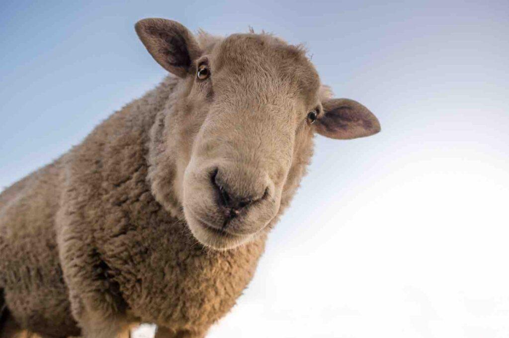 sheep at the educational farm