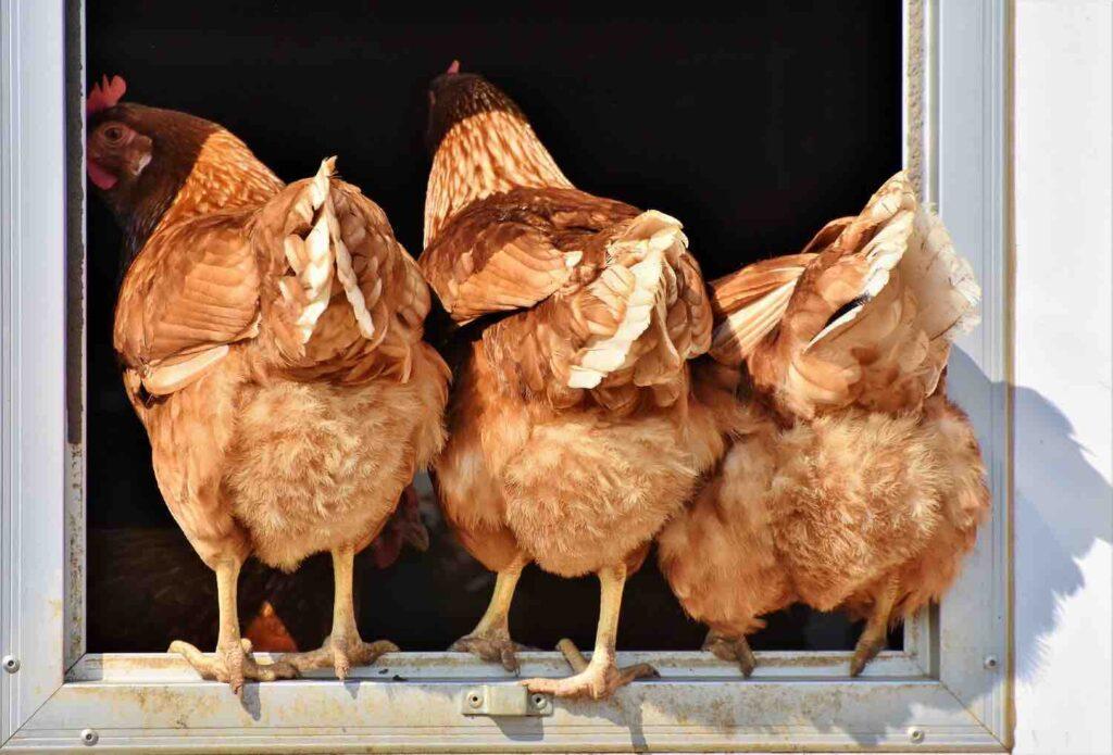 poules dans les fermes pédagogiques