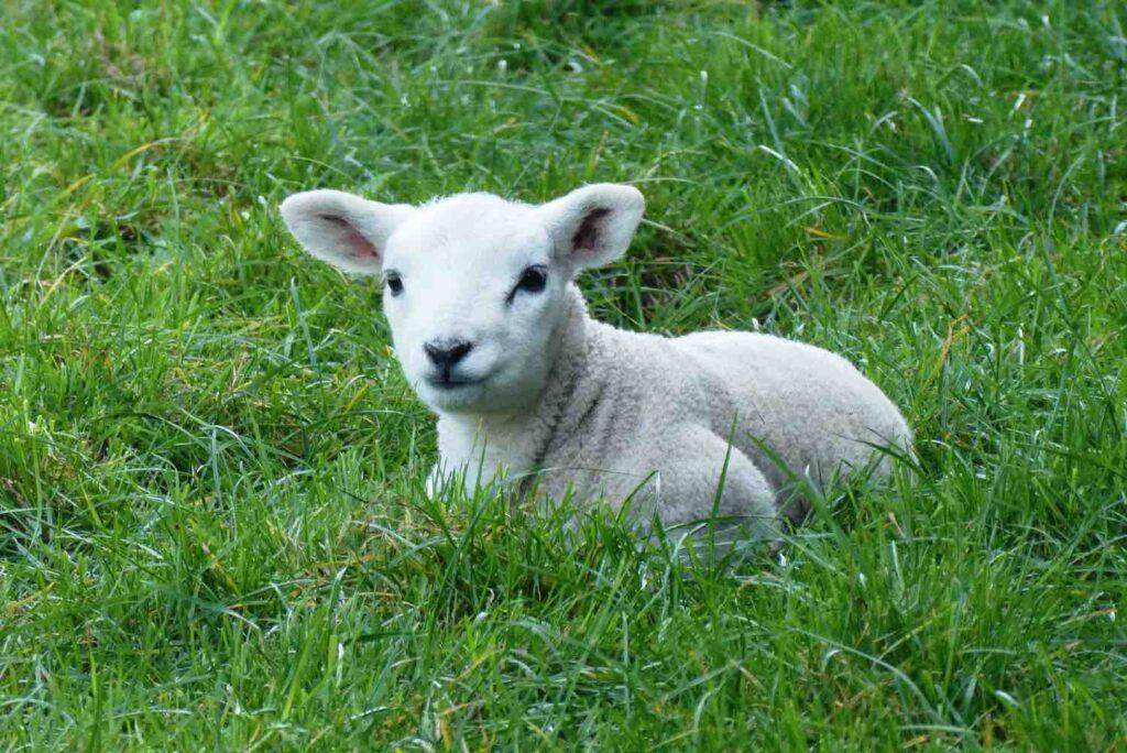 small sheep national sheepfold of Rambouillet